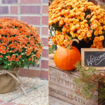Orange mums for the fall